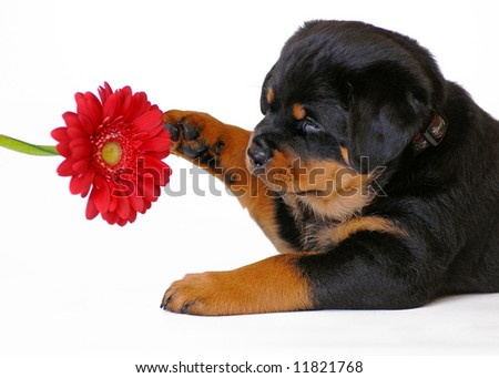 Puppy and red flower - stock photo