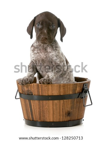 puppy bath - german shorthaired pointer in a wash basin isolated on white background - stock photo