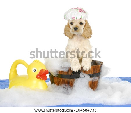 puppy bath time - american cocker spaniel puppy having a bath - 8 weeks old - stock photo