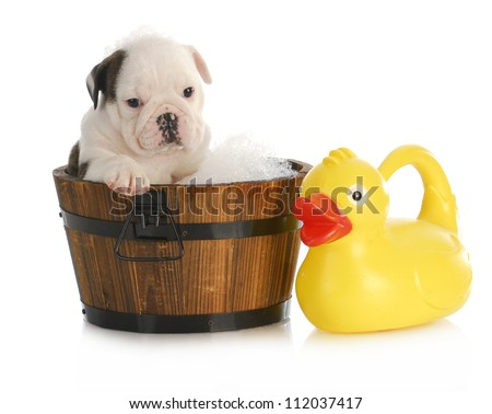 puppy bath time - english bulldog puppy in wooden wash basin with soap suds and rubber duck - stock photo