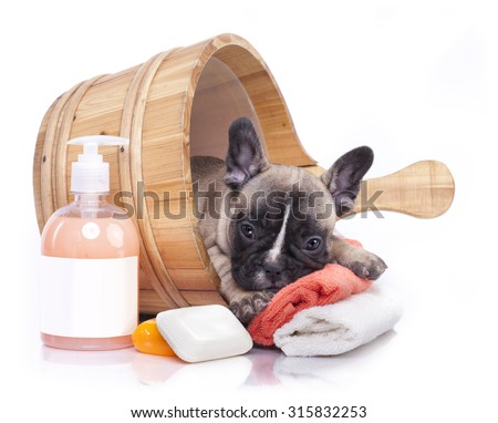 puppy bath time - French bulldog puppy in wooden wash - stock photo