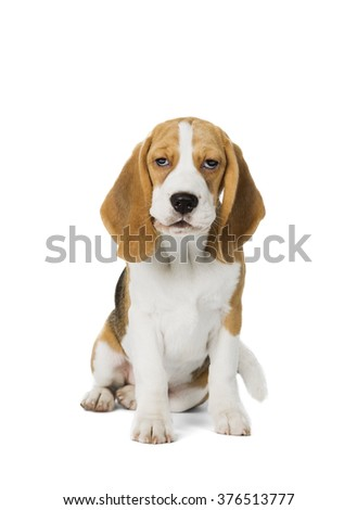 puppy Beagle on white background - stock photo