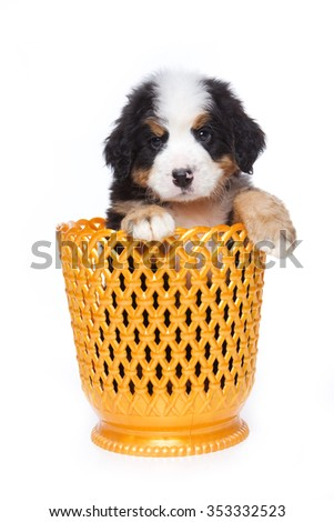 Puppy Bernese Mountain Dog in a vase (isolated on white) - stock photo