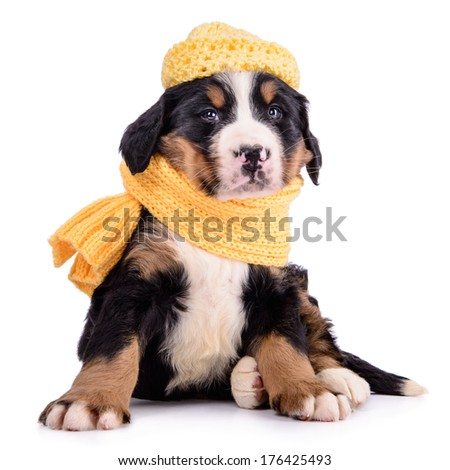 Puppy Bernese Mountain Dog with clothes. animal isolated on white background - stock photo