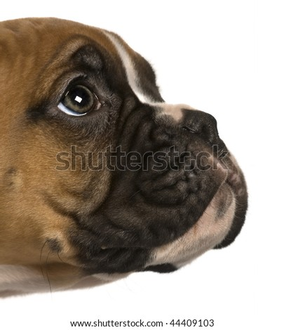 Puppy Boxer, 2 months old, looking up in front of white background - stock photo