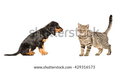 Puppy breed Slovakian Hound and cat Scottish Straight, isolated on white background  - stock photo