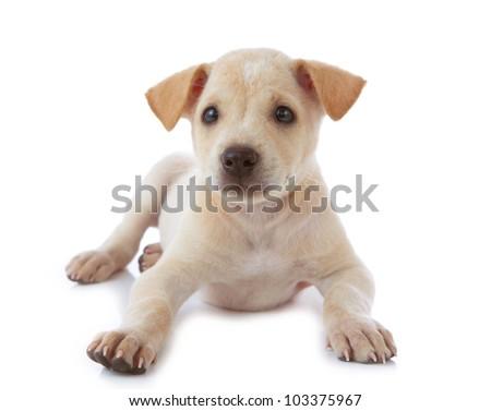 puppy dog isolated on white background - stock photo