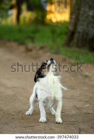 Puppy Dog Pooch, front view, gaze is directed upwards, shooting on the street. - stock photo