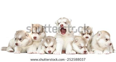 puppy dog sitting row, dog group, siberian husky cute, white background. - stock photo