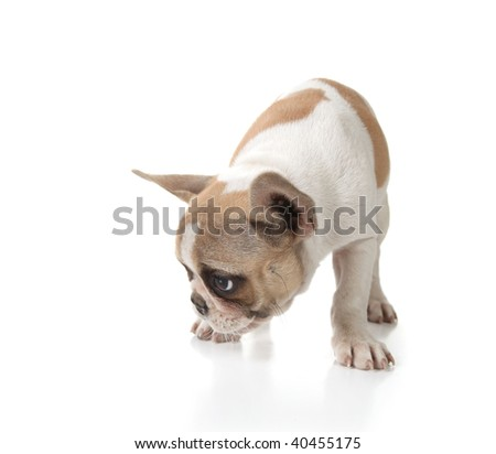 Puppy Dog Sniffing on the Ground Shot in Studio on White - stock photo