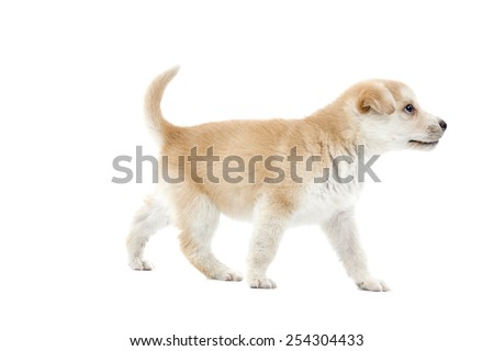 Puppy dog walking against a white background - stock photo