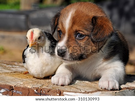 puppy dog with a little chicken - stock photo