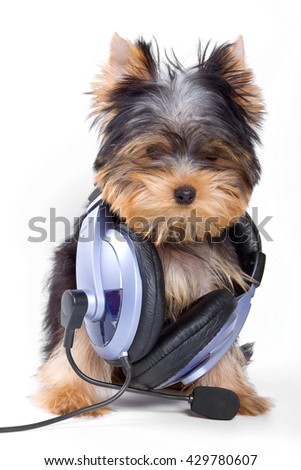 Puppy dogs York and headphones (isolated on white) - stock photo