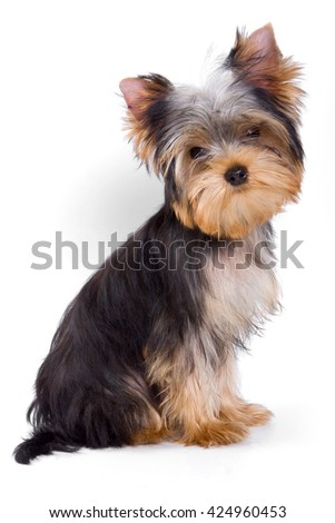 Puppy dogs York looking at the camera (isolated on white) - stock photo