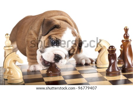 Puppy english Bulldog  and chess - stock photo
