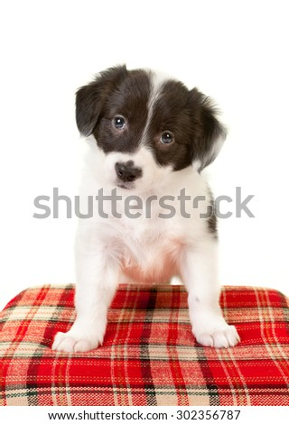 Puppy eyes of a 5 weeks old border collie doggy - stock photo