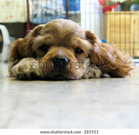 puppy falling asleep - stock photo