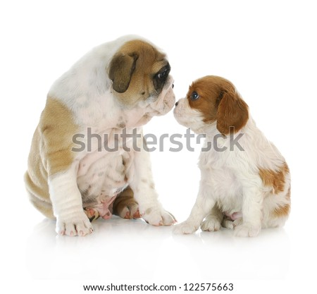 puppy friends - english bulldog and cavalier king charles spaniel puppies kissing isolated on white background - stock photo