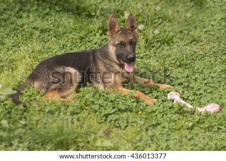 Puppy german shepherd dog eat, chew and nibble a raw bone - stock photo