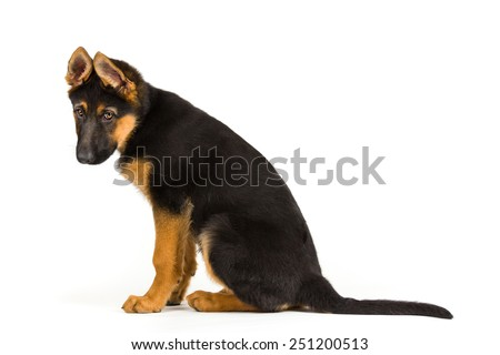 puppy german shepherd dog looking sad on white background - stock photo
