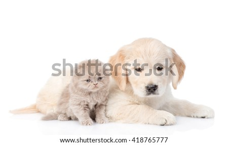 Puppy golden retriever and kitten lying together. isolated on white background. - stock photo