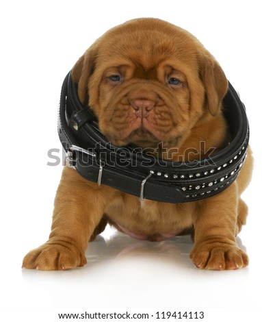 puppy growth - dogue de bordeaux puppy wearing dog collar that is too big - 4 weeks old - stock photo