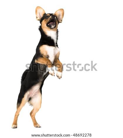 puppy isolated on white background - stock photo