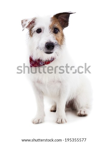 Puppy  jack russel terrier dog on a white background - stock photo