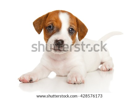 Puppy Jack Russell in front of a white background - stock photo