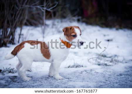 puppy Jack Russell Terrier dog in snow - stock photo