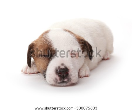 Puppy Jack Russell Terrier sleeping, 1 months old. Isolated on white. - stock photo