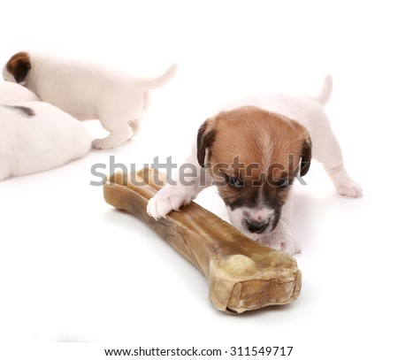 Puppy Jack Russell Terrier with a large bone. Isolated on white - stock photo