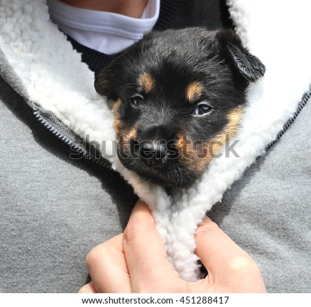 Puppy kept warm in a jacket  - stock photo
