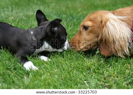 Puppy kisses. A boston terrier and dachshund. - stock photo