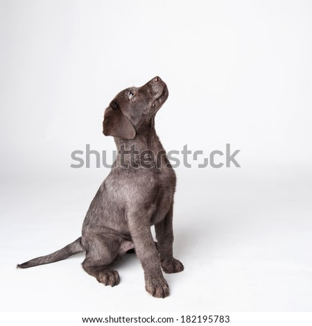 Puppy labrador retriever dog looking up isolated on a white background.  - stock photo