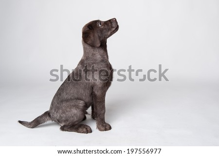 Puppy labrador retriever studio portrait on white background.  - stock photo