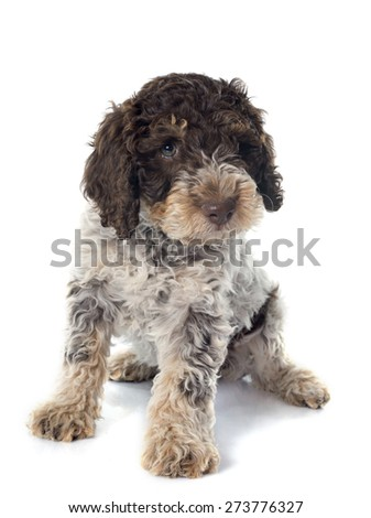 puppy lagotto romagnolo in front of white background - stock photo