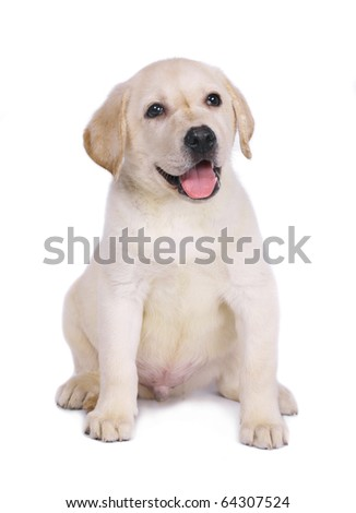 Puppy of a labrador isolated on a white background. - stock photo