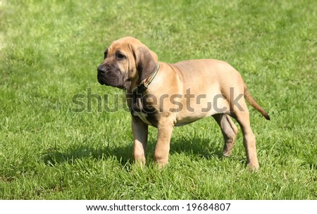 Puppy of breed brasilian fila on walk - stock photo