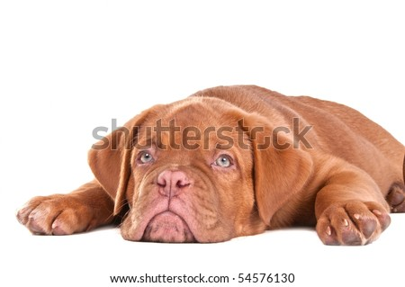 Puppy of dogue de bordeaux lying with its muzzle between its paws - stock photo
