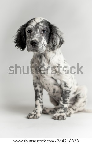 Puppy of english setter in studio portrait. White background, sitting position - stock photo