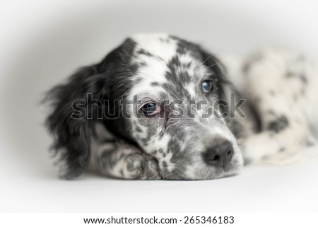 Puppy of english setter looking at yourself. Close-up portrait with bokeh - stock photo