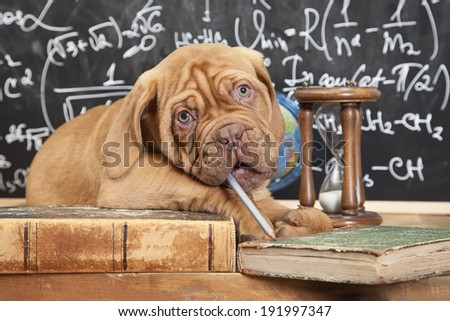 Puppy of French Mastiff breed chewing a pencil in front of blackboard  - stock photo