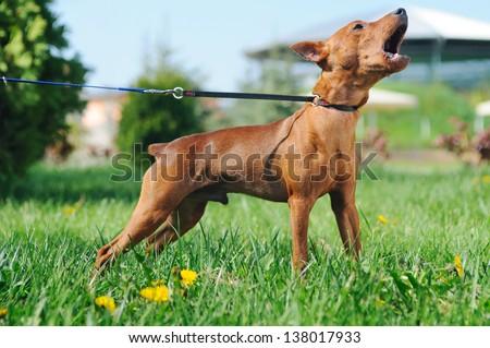 Puppy of  Miniature Pinscher (Zwergpinscher, Min Pin) barking - stock photo
