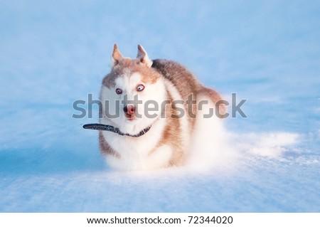 Puppy of siberian husky run on snow - stock photo