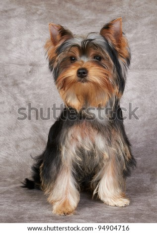 Puppy of the Yorkshire Terrier isolated on the textile background - stock photo