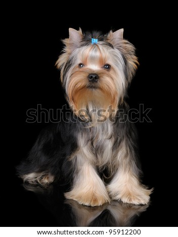 Puppy of the Yorkshire Terrier on the black reflecting background - stock photo