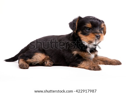 Puppy of Yorkshire Terrier isolated on the white (age 1 month) - stock photo