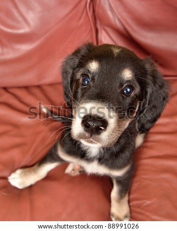 puppy on leather couch sofa chair - stock photo