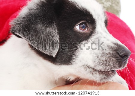 Puppy on red Christmas colors - stock photo